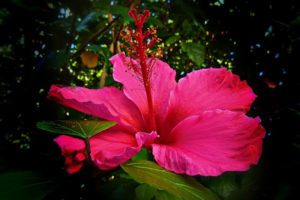 Hình hoa dâm bụt hồng đẹp nhất