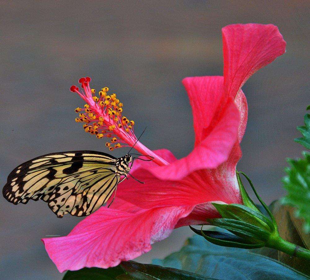 Hình hoa dâm bụt hồng đẹp