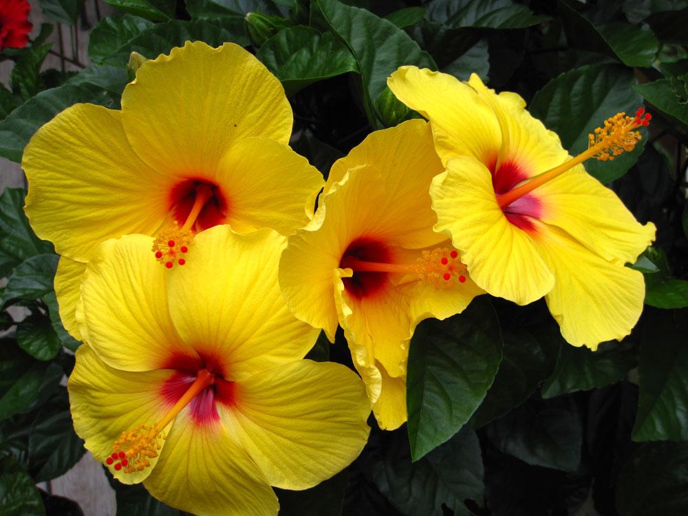 Hình hoa dâm bụt vàng đẹp