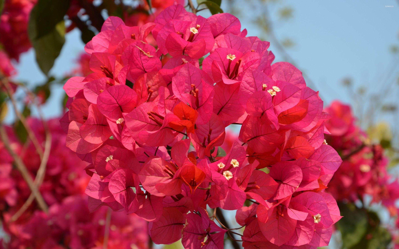 Hình hoa giấy đẹp nhất