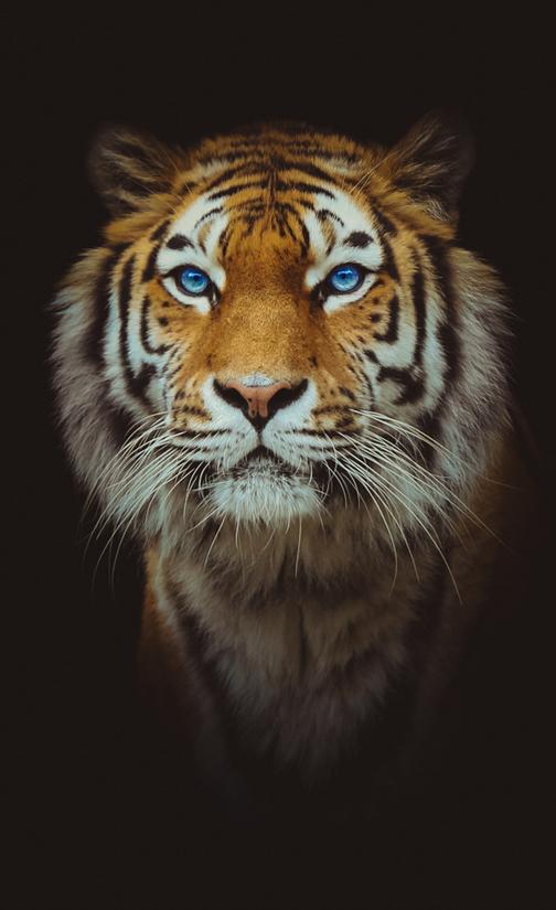 Hình nền con hổ cho điện thoại cực ngầ