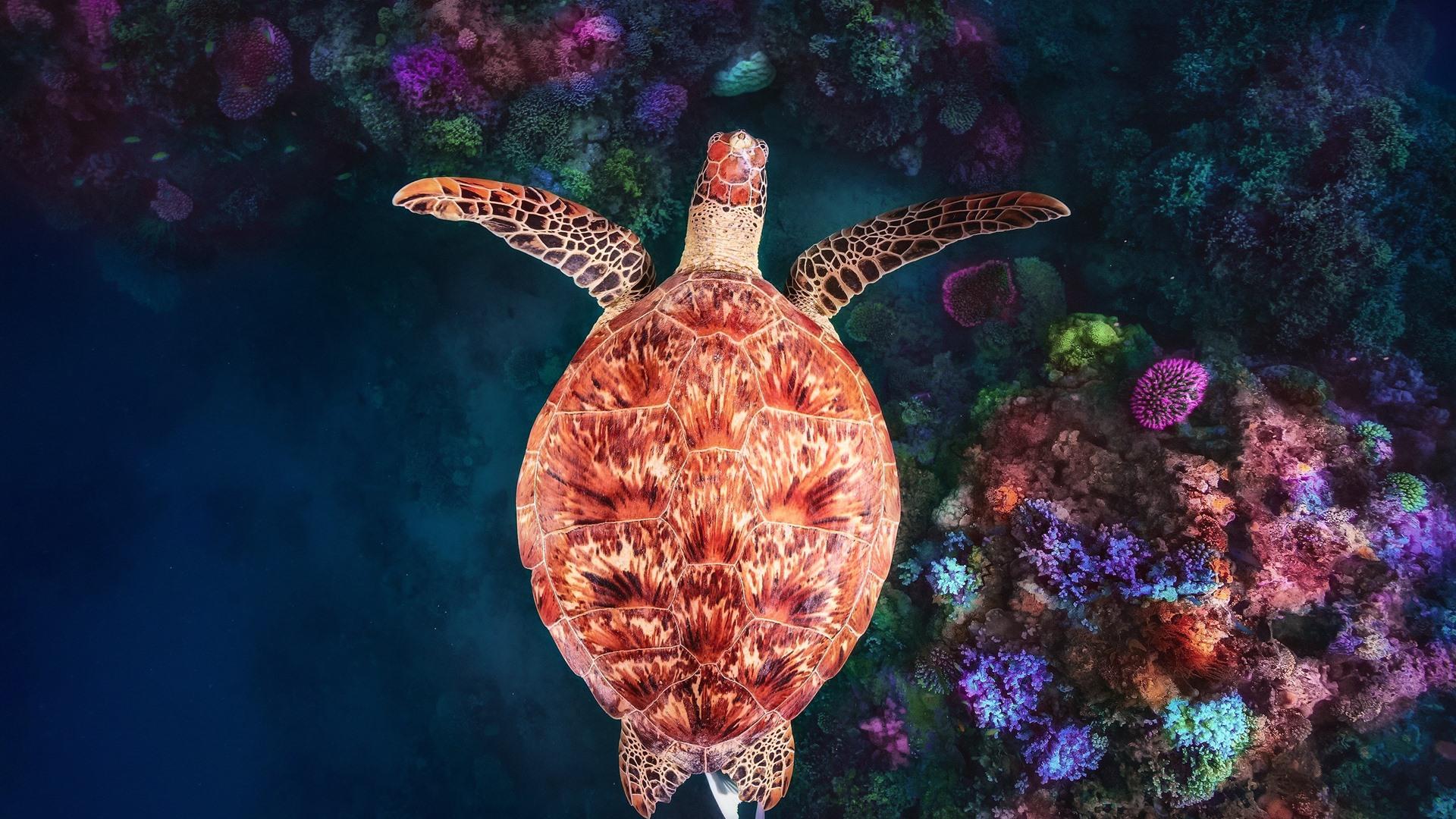 Hình nền con rùa và rặng san hô
