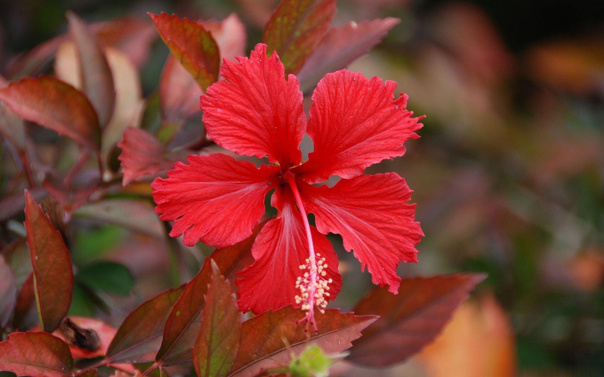 Hình nền hoa dâm bụt độc đáo