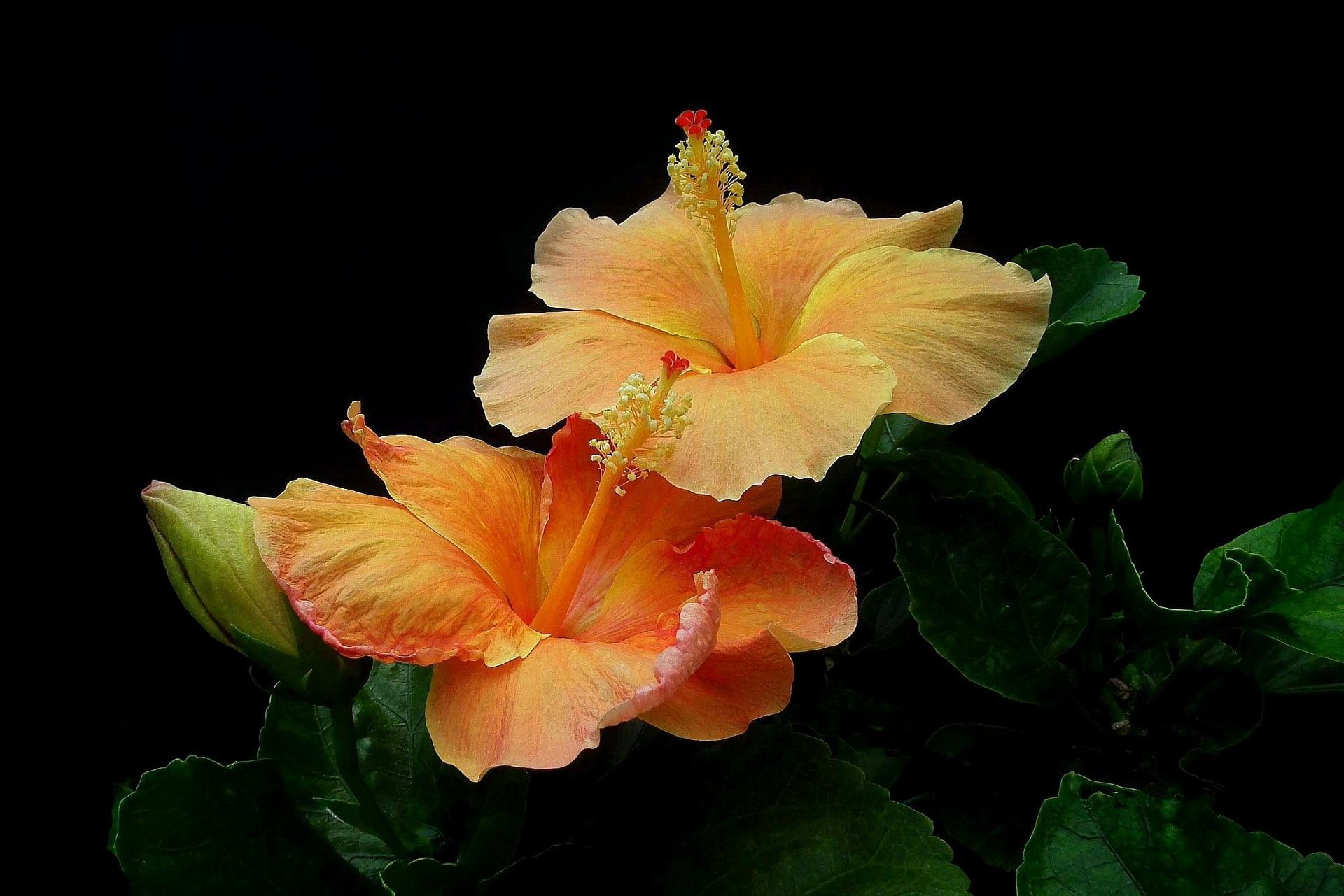 Hình nền hoa dân bụt đẹp nhất