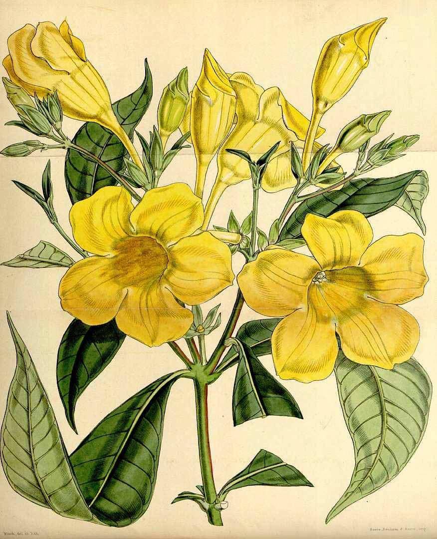 Hình vẽ hoa Quỳnh Anh
