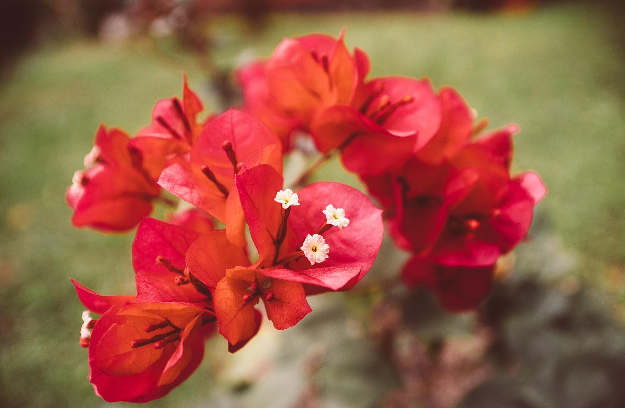 Red bougainvillea flowers wallpaper