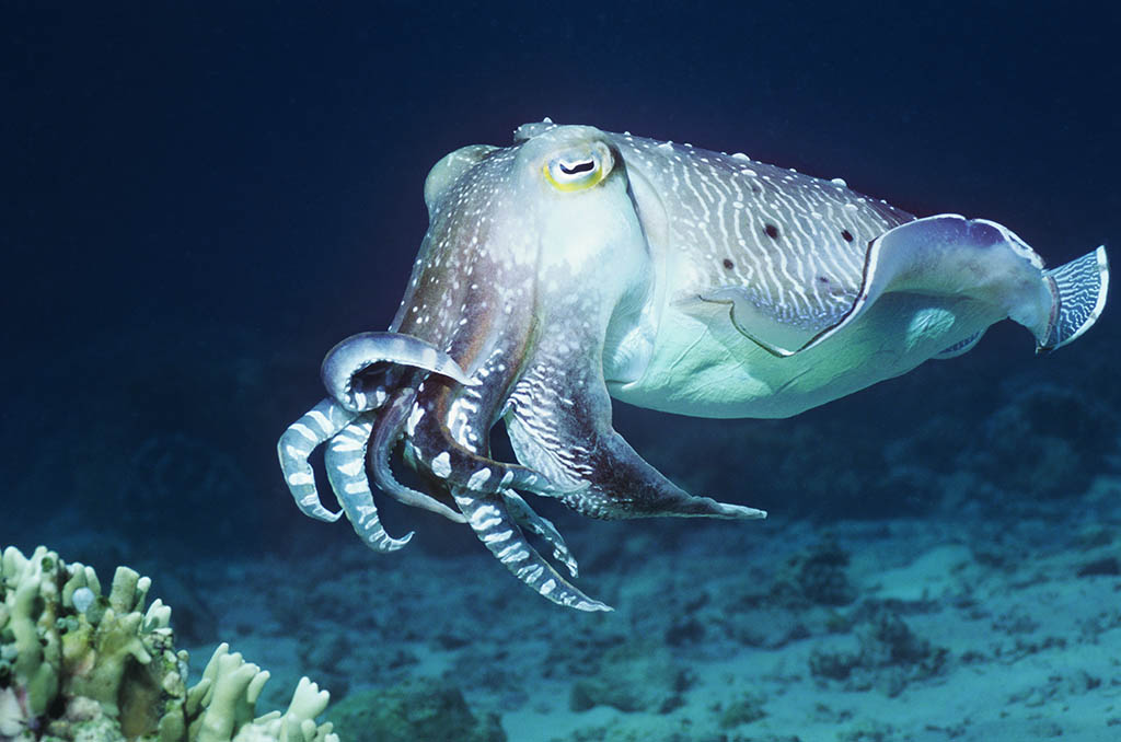 Cuttlefish images