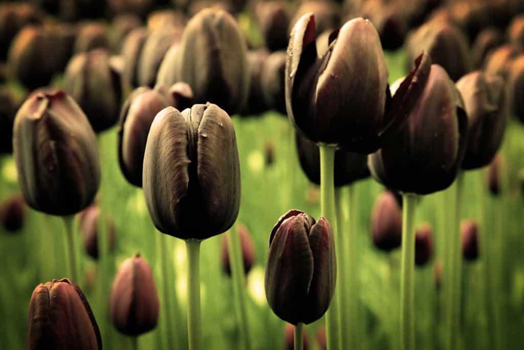 Ảnh bông hoa Tulip đen đẹp rạng ngời