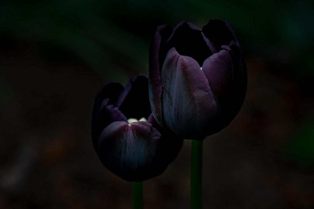 Ảnh bông hoa Tulip đen nở đơn độc