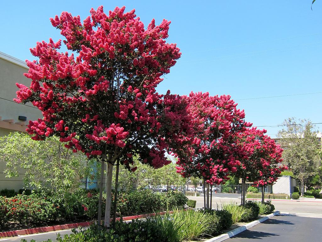 Ảnh cây hoa Tường Vi đẹp nhất