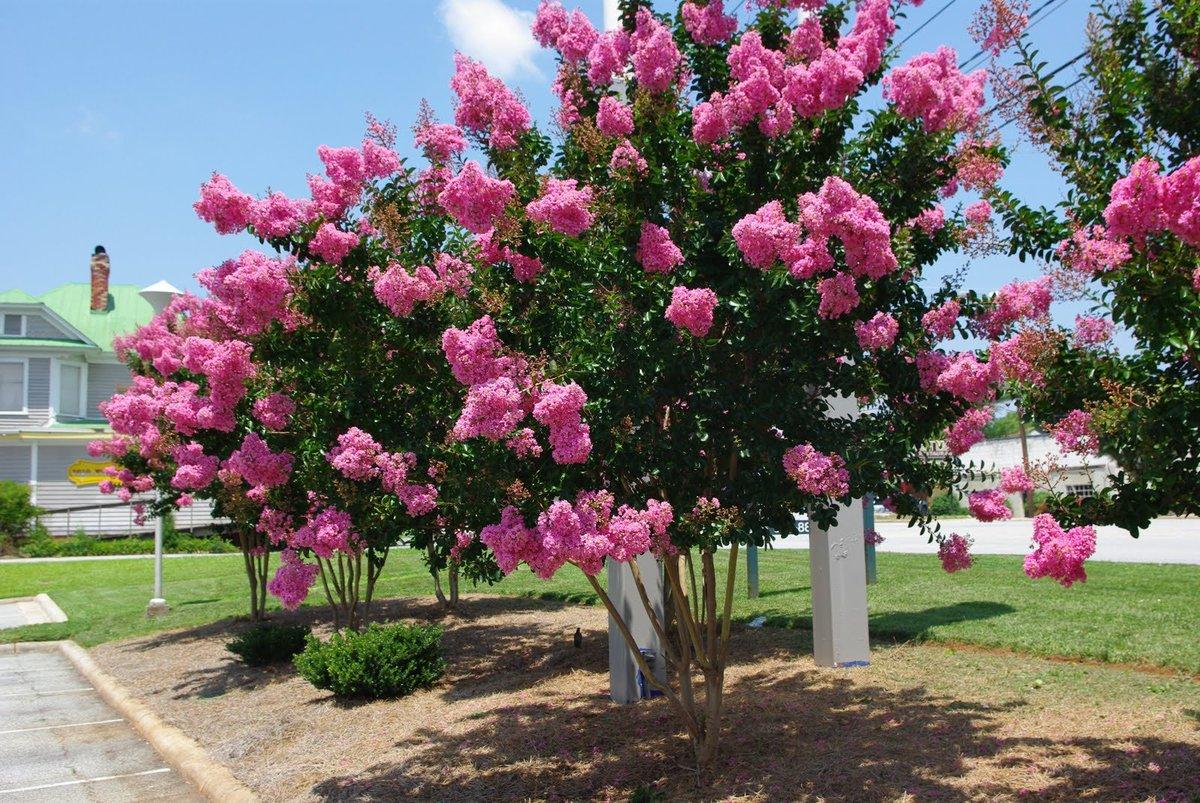 Ảnh cây hoa Tường Vi hồng phấn đẹp