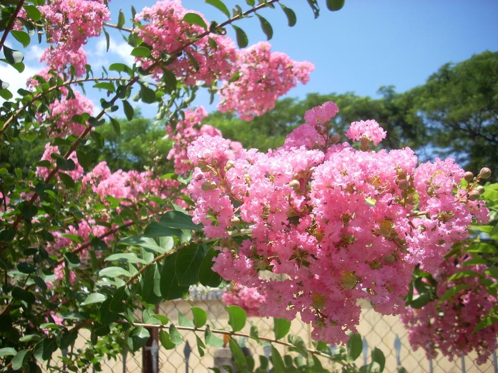 Ảnh cây hoa Tường Vi màu hồng phấn cực đẹp