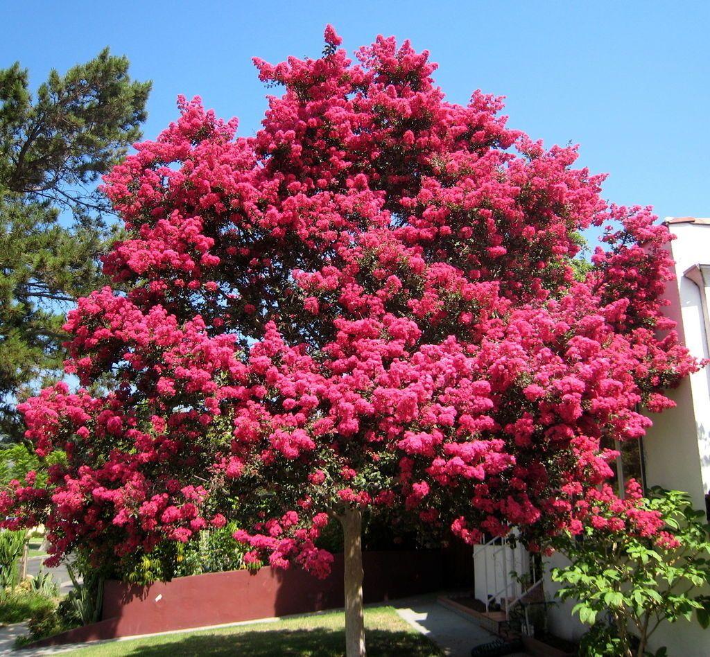 Ảnh cây tường vi hồng trước sân
