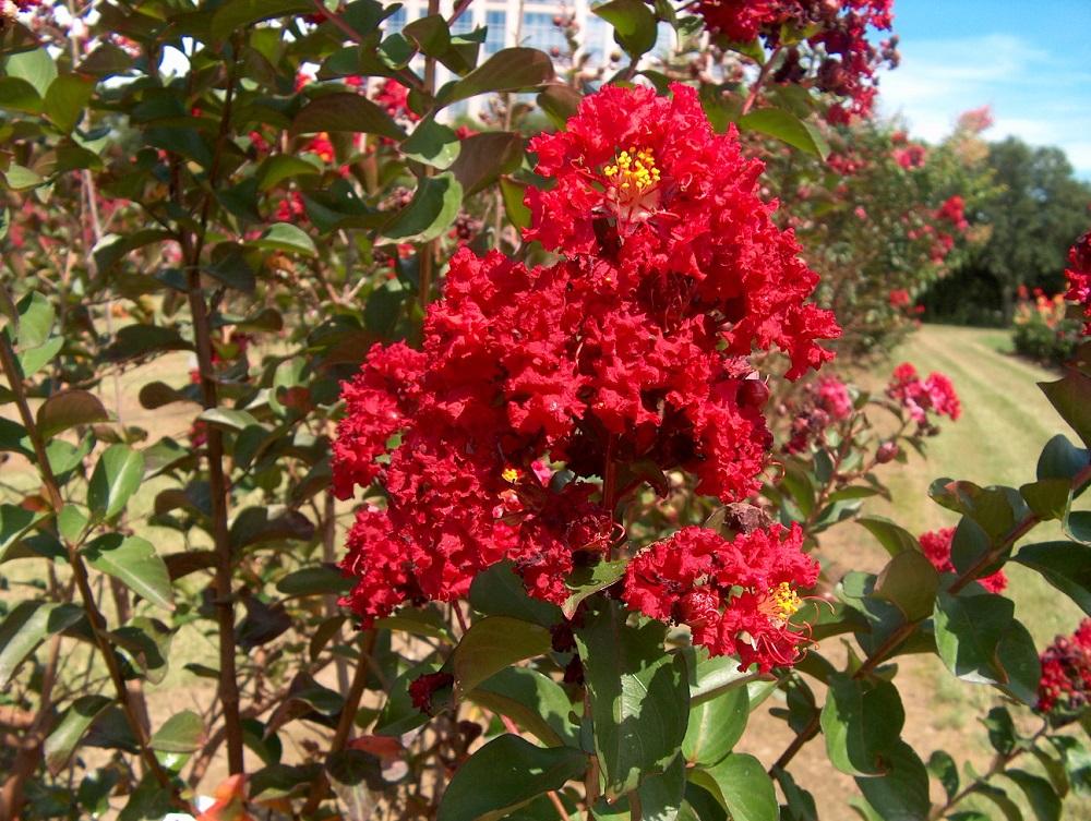 Ảnh chùm hoa Tường Vi đỏ cực đẹp