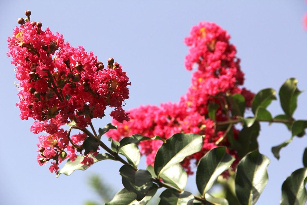 Ảnh cực đẹp về hoa Tường Vi