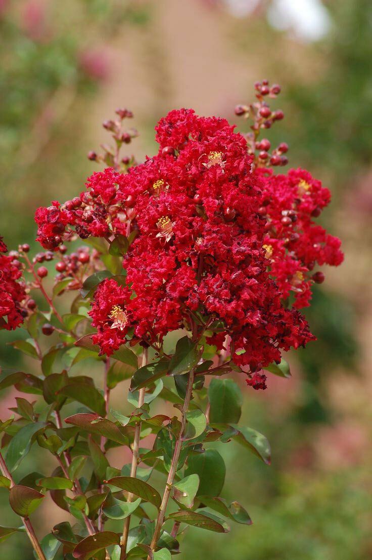 Ảnh đẹp nhất về hoa tường vi đỏ