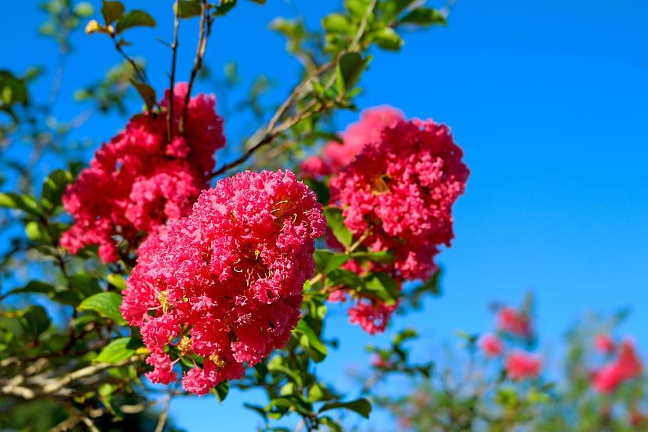 Ảnh đẹp về hoa Tường Vi