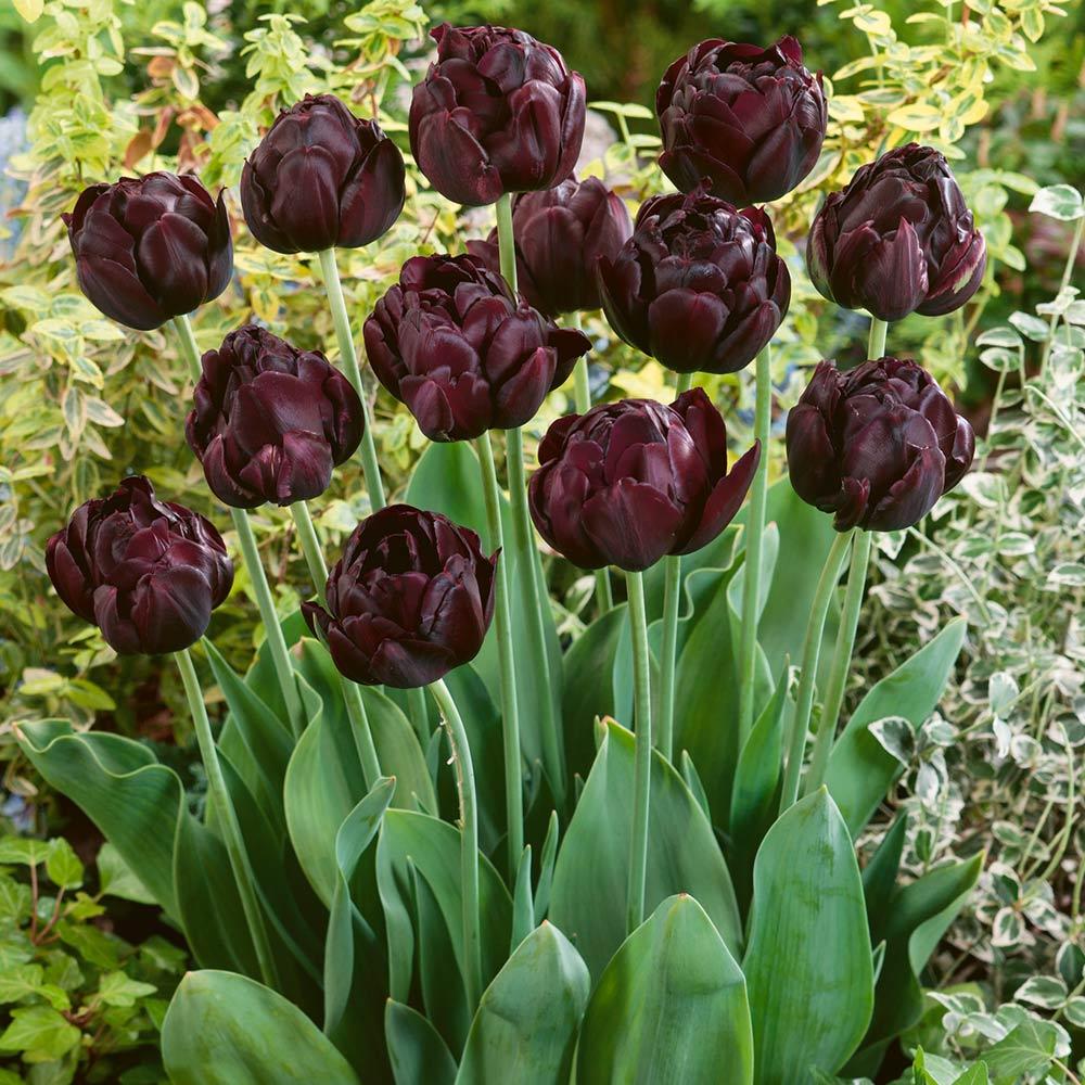 Ảnh hoa Tulip Back Hero