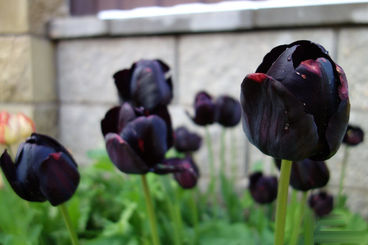 Ảnh hoa Tulip đen buổi sớm