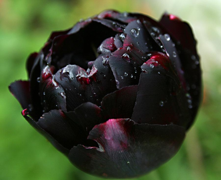 Ảnh hoa Tulip đen cánh kép đẹp nhất