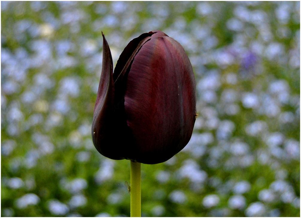 Ảnh hoa Tulip đen đẹp nhất