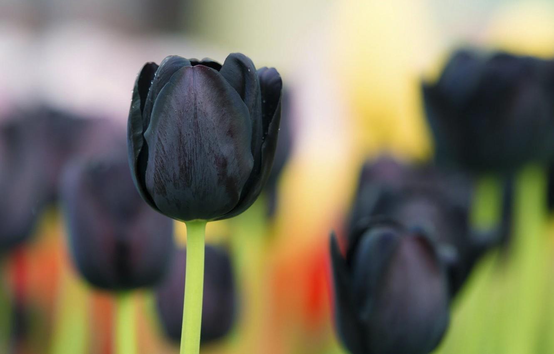 Ảnh hoa Tulip đen đẹp rạng ngời