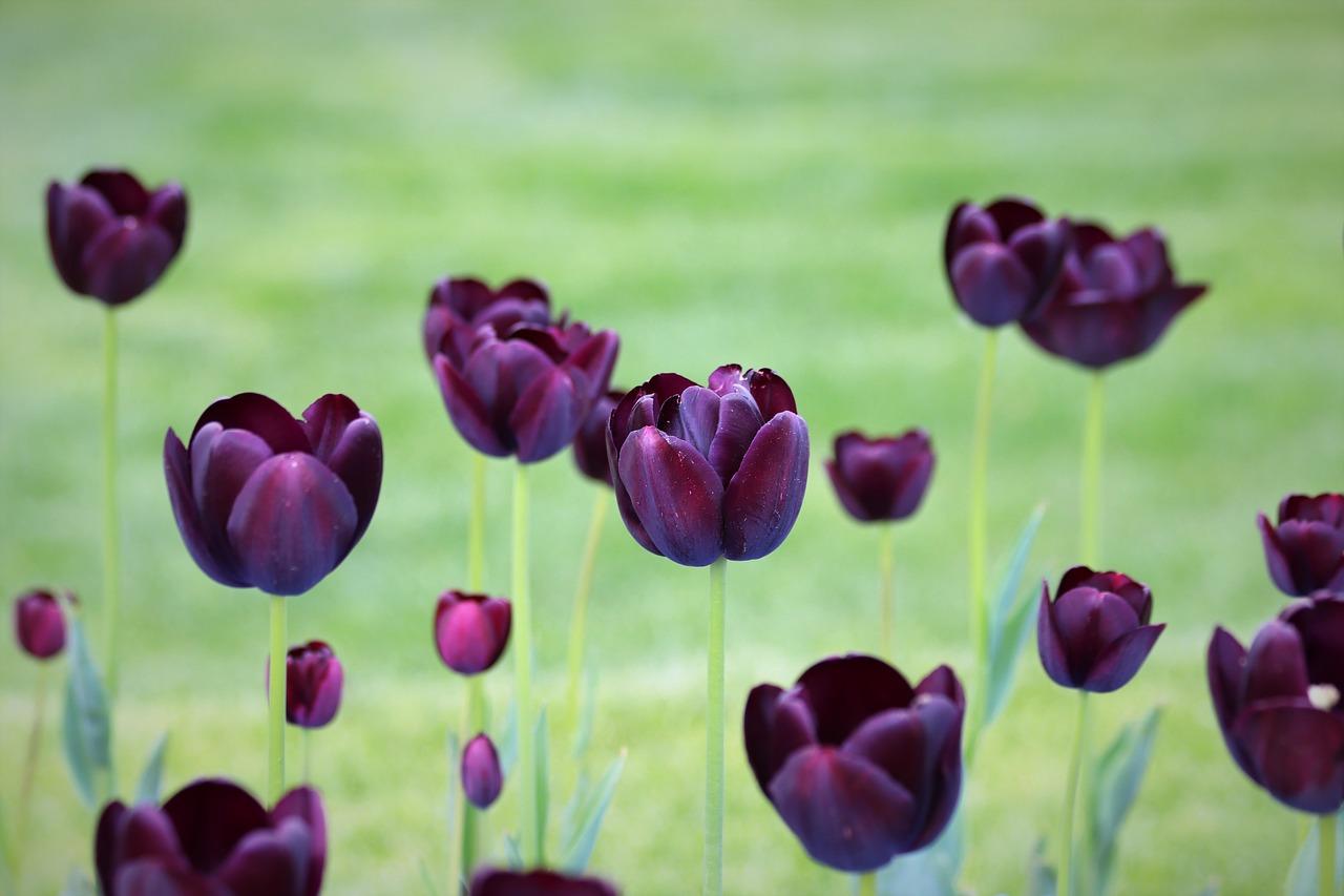 Ảnh hoa tulip đen khoe sắc