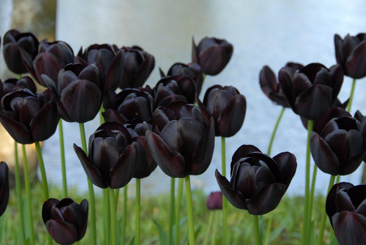 Ảnh hoa tulip đen nhất