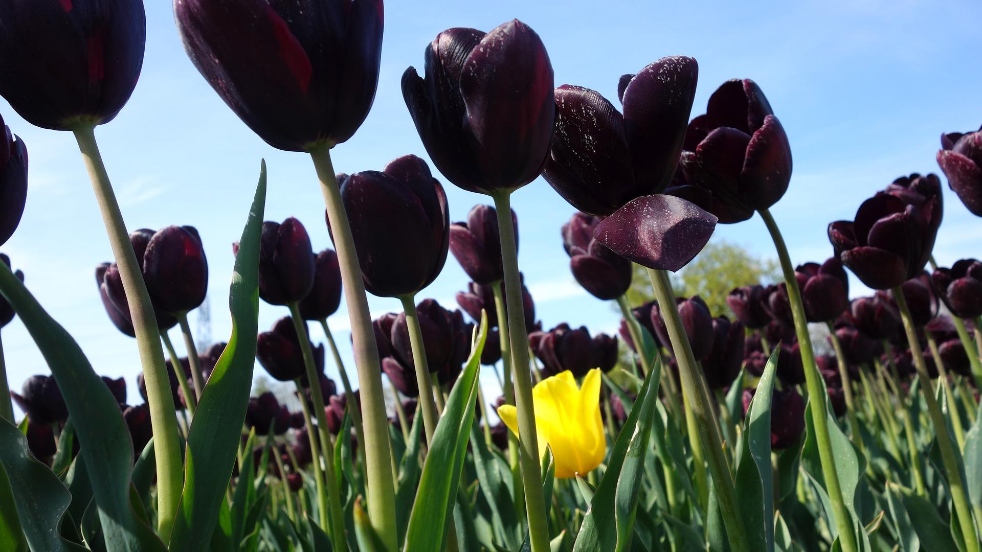 Ảnh hoa Tulip đen nở