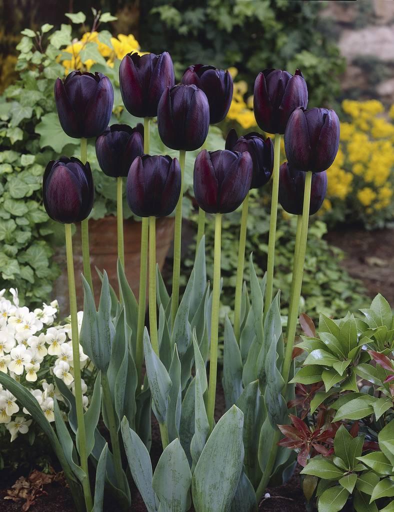 Ánh hoa Tulip đen - Nữ hoàng bóng đêm