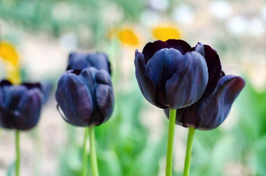 Ảnh hoa Tulip đen - nữ hoàng bóng đêm