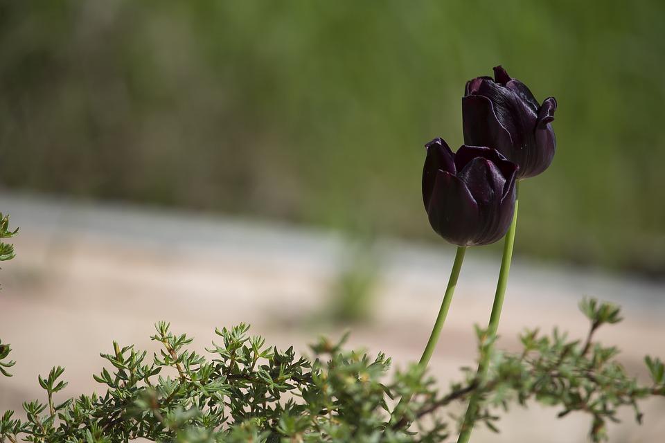 Ảnh hoa Tulip màu đen cuối mùa