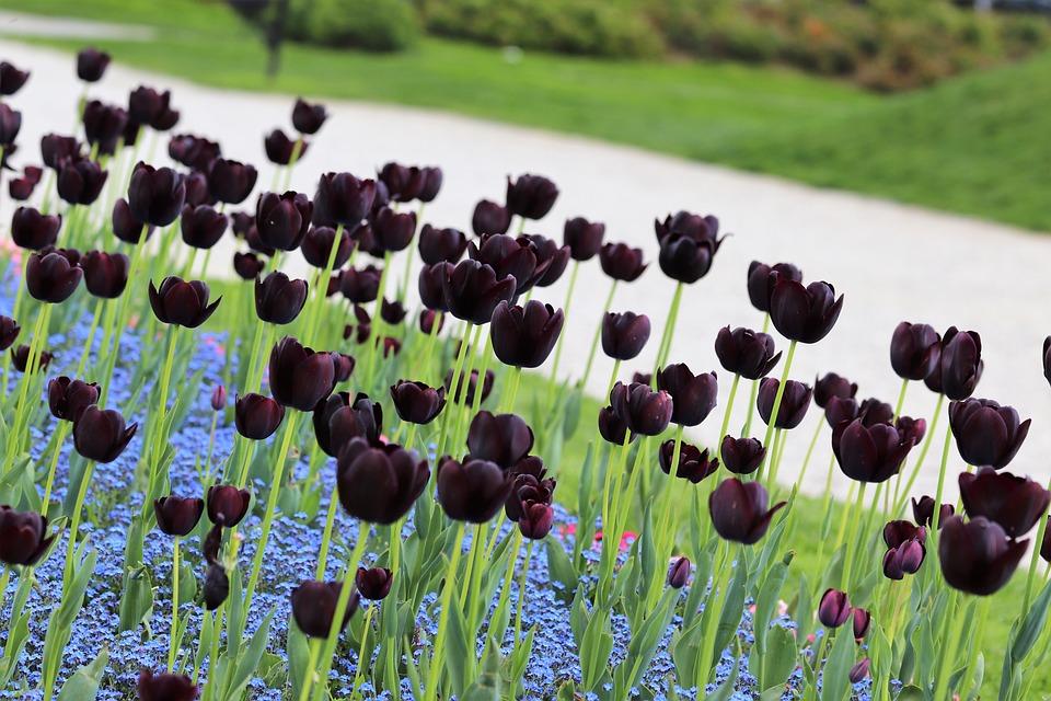 Ảnh hoa Tulip màu đen đẹp nhất
