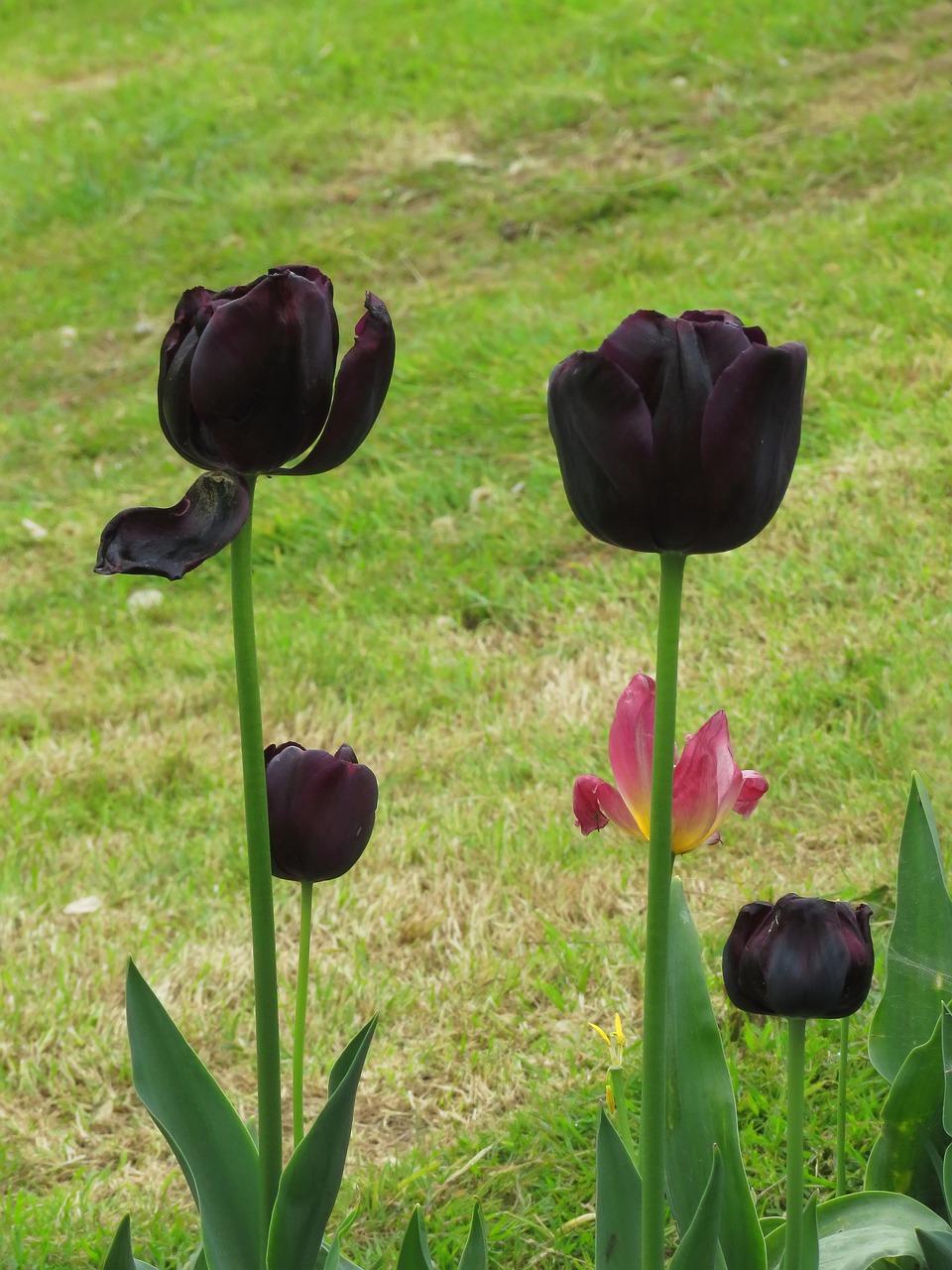 Ảnh hoa Tulip màu đen