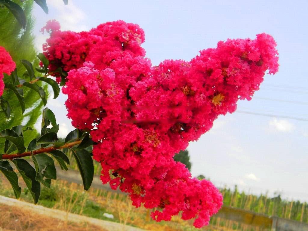Ảnh hoa Tường Vi hồng cực đẹp