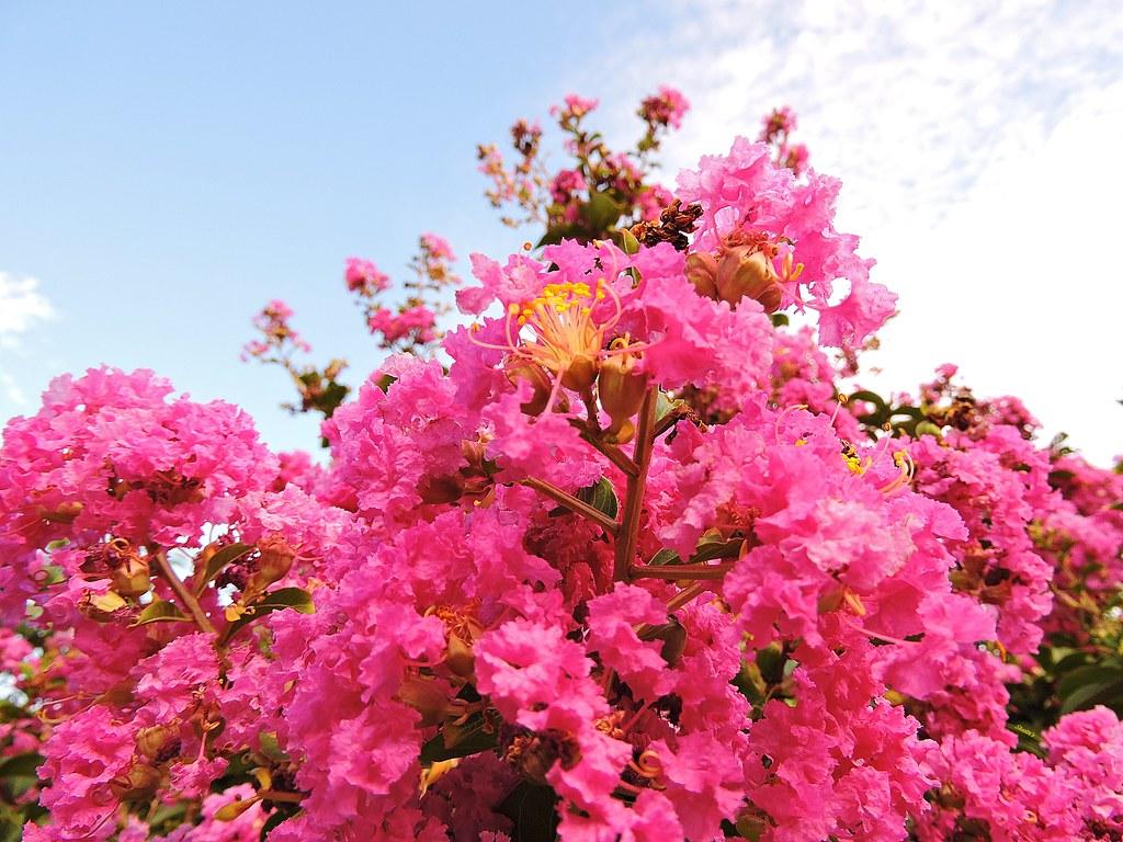 Ảnh hoa Tường Vi hồng đẹp nhất