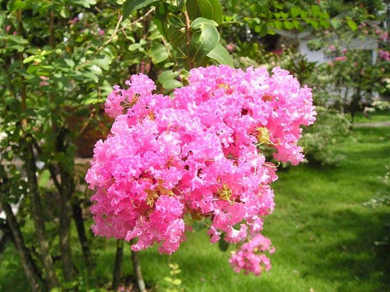 Ảnh hoa Tường Vi hồng phấn