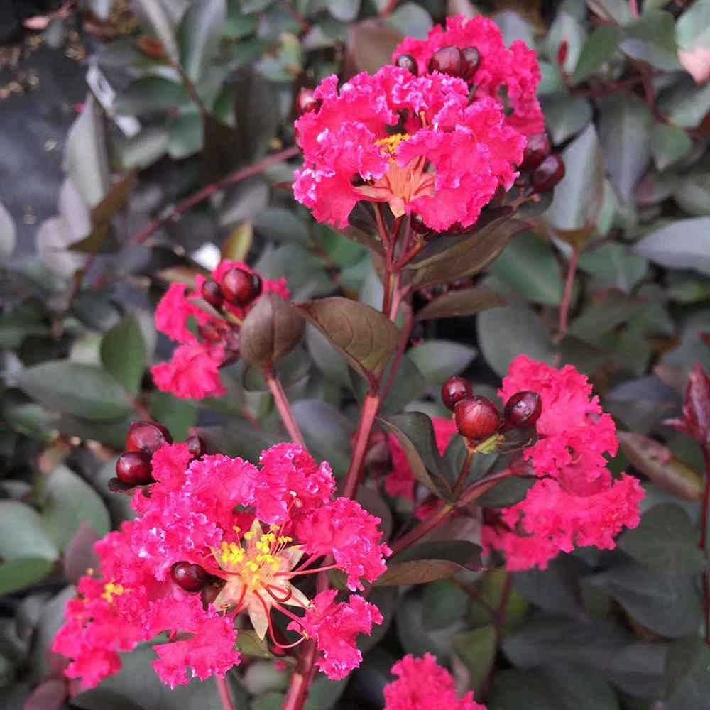 Ảnh hoa Tường Vi hồng