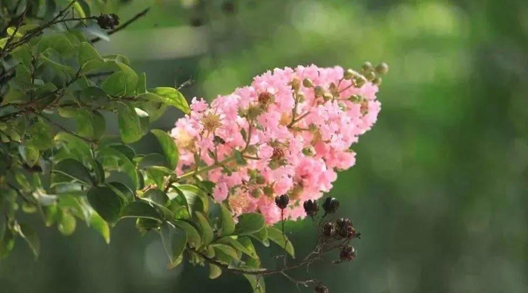 Ảnh hoa Tường Vi màu hồng phấn