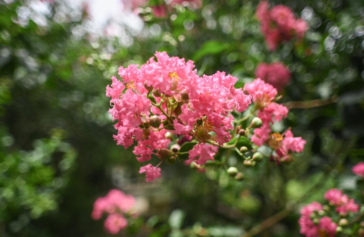 Ảnh hoa Tường Vi nở rộ tháng 8