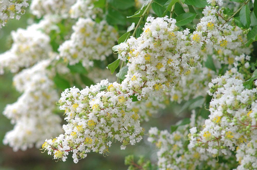 Ảnh hoa Tường Vi nở từng chùm trắng như tuyết