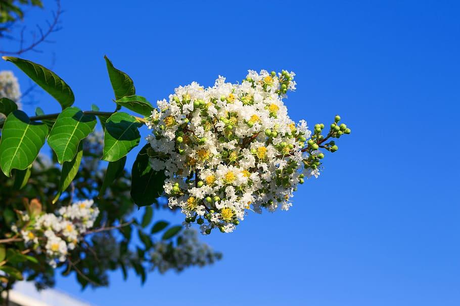 Ảnh hoa Tường Vi trắng cực đẹp