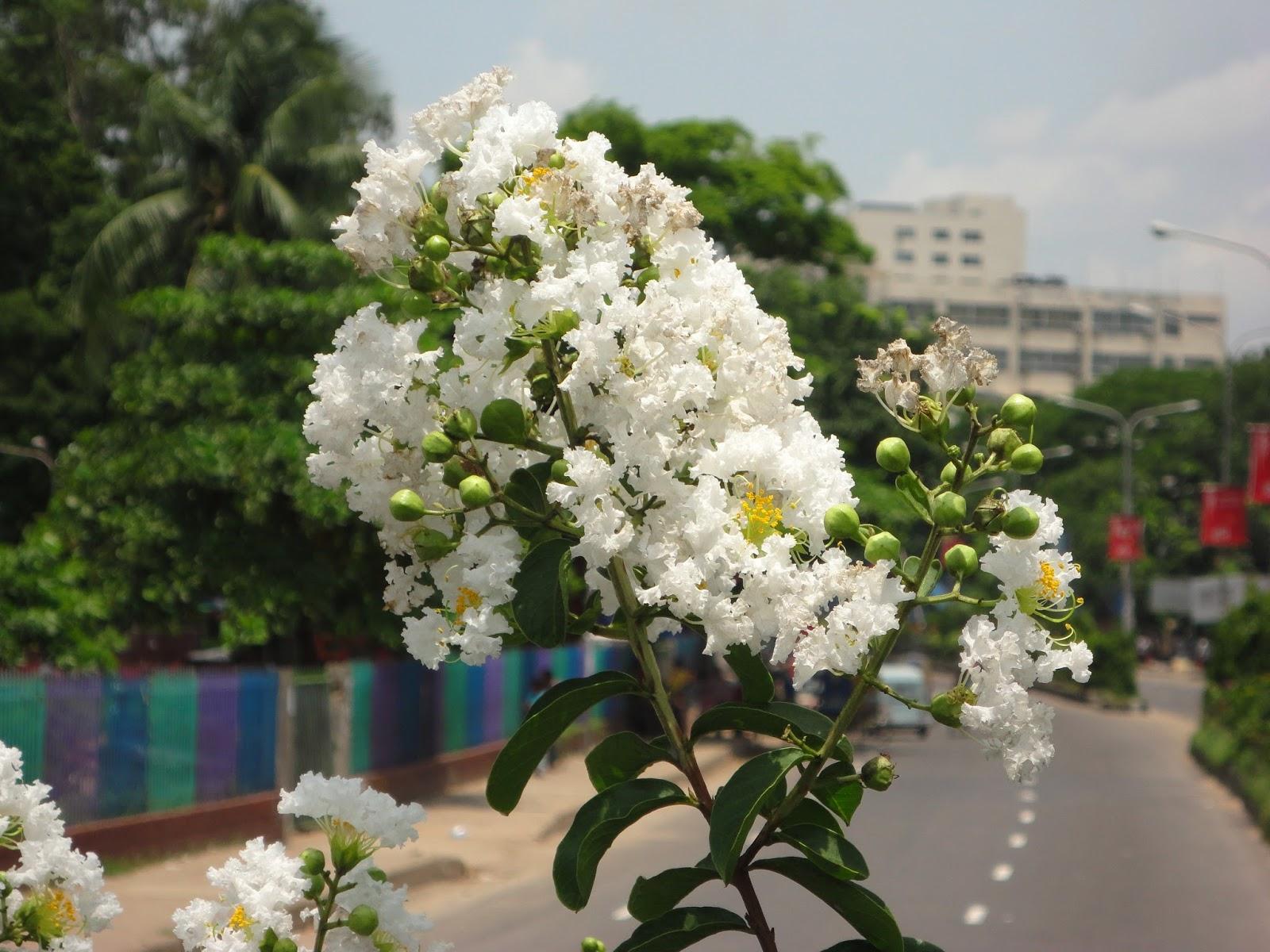 Ảnh hoa Tường Vi trắng khoe sắc