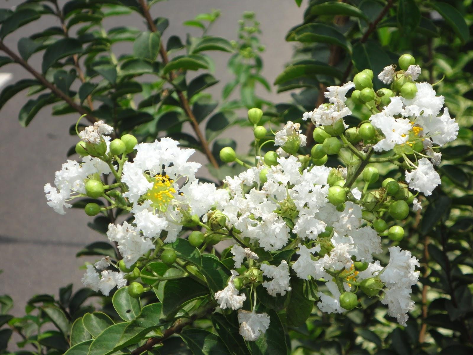 Ảnh hoa Tường Vi trắng nở đẹp nhất