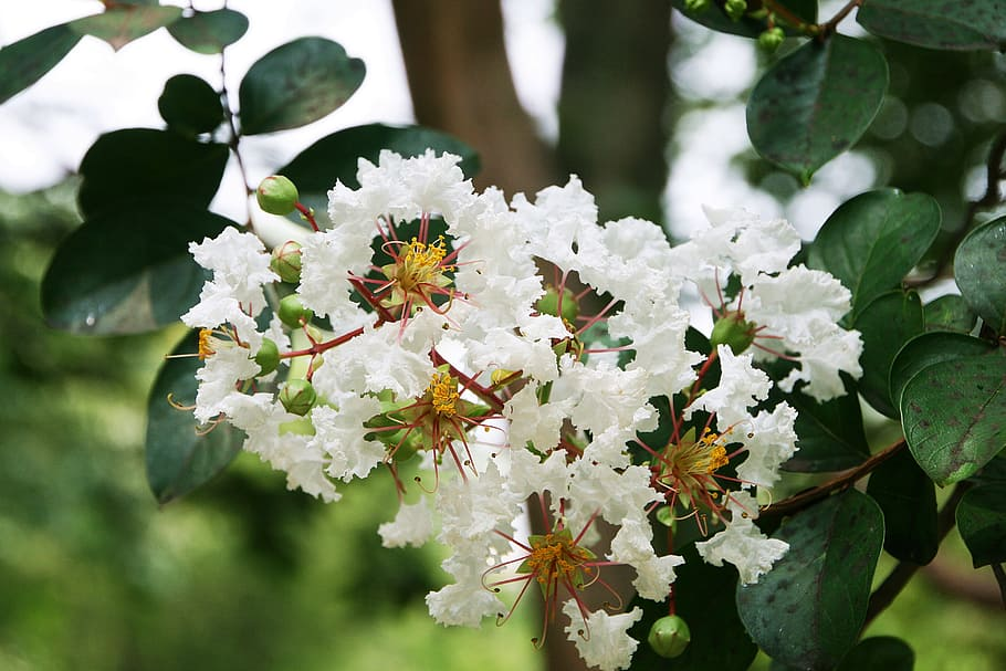 Ảnh hoa Tường Vi trắng