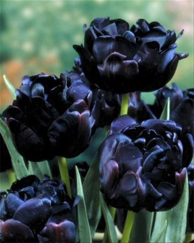 Ảnh những bông hoa Tulip đen cực đẹp