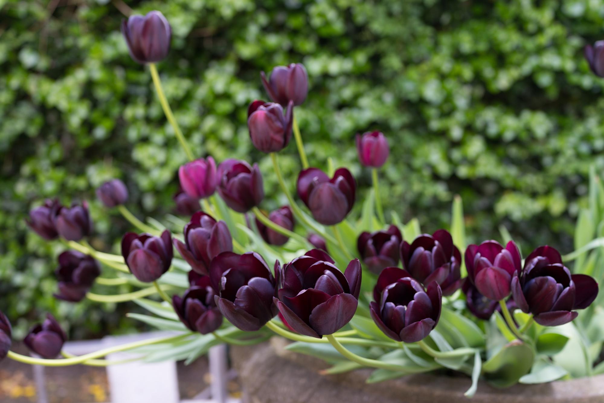 Ảnh những bông hoa Tulip đen đẹp