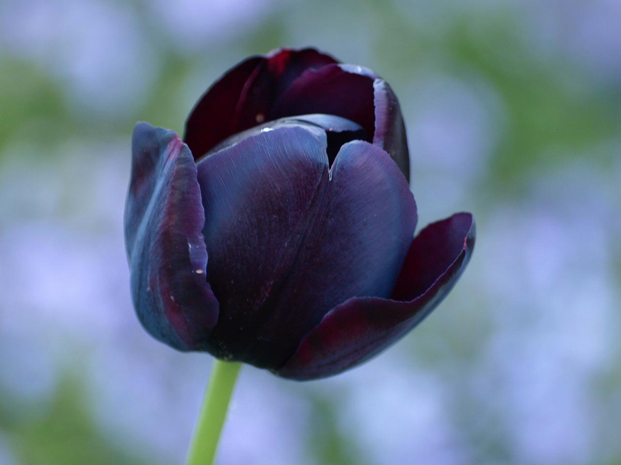 Ảnh Tulip đen đẹp, rực rỡ