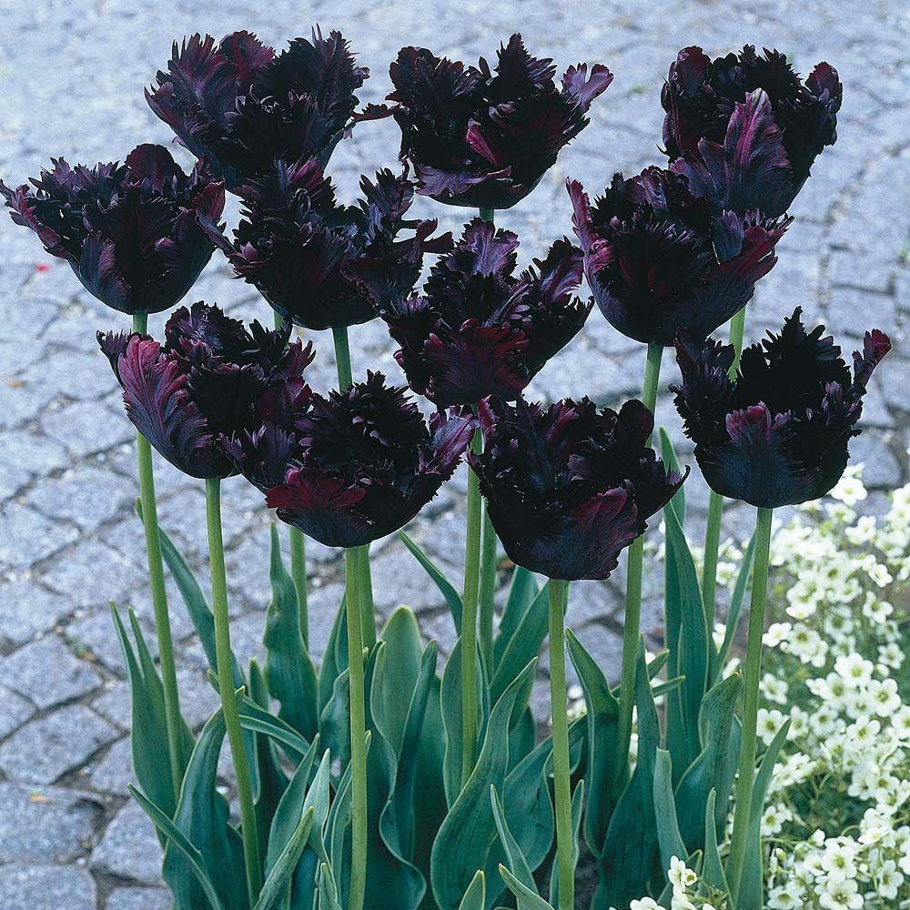Ảnh Tulip đen độc, lạ