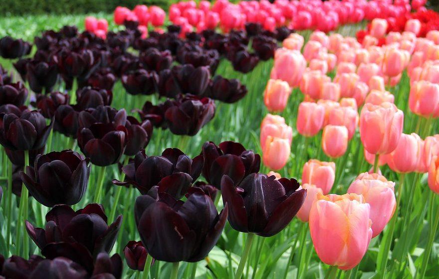 Ảnh Tulip đen mix tulip hồng, đỏ